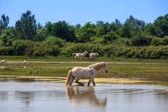 Camargue konie Zdjęcie Royalty Free