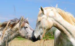 Camargue konie Zdjęcia Royalty Free