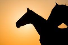 Camargue konie przy zmierzchem Francja Zdjęcia Stock