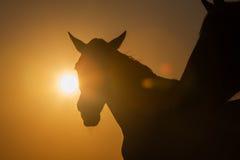 Camargue konie przy zmierzchem Francja Zdjęcie Stock