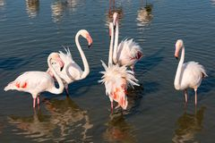 Flamingo having a meeting. In Camargue, near Les Saintes Maries de la Mer, we have come across a colony of flamingos. The Camargue is a region between land and Royalty Free Stock Images