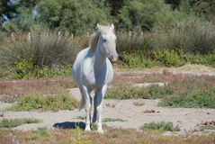 Camargue Pferd Lizenzfreies Stockfoto