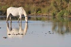 Camargue Pferd, das in flachem einen Teich trinkt Lizenzfreies Stockfoto