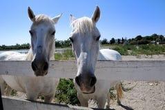 Camargue Pferde Stockfotos