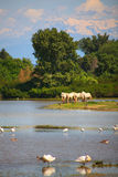 Camargue Pferde Stockbilder