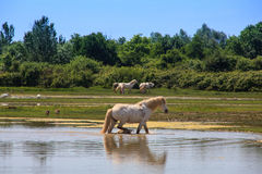 Camargue Pferde Lizenzfreies Stockfoto