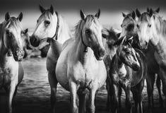 Camargue Pferde Imagen de archivo libre de regalías