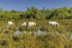Camargue-Pferde, Frankreich Lizenzfreie Stockbilder