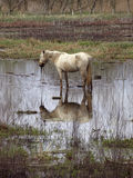Camargue's horse. S eating in water Stock Photography