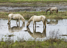 Camargue's horses. Eating in water Stock Image