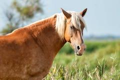 Camargue vildhästnärbild Royaltyfria Bilder