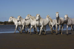 Camargue white horse Royalty Free Stock Images