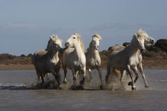Camargue white horse Royalty Free Stock Image