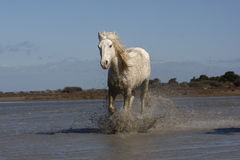 Camargue white horse Stock Photography