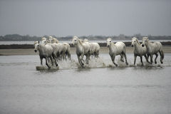 Camargue white horse Royalty Free Stock Photos