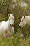 Camargue White Horses Royalty Free Stock Photo