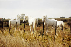 Camargue white horses, Camargue, France Stock Photos