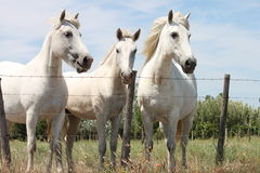 Camargue White horses, France. This horses are waiting for Le Petit Train  coming from the Mediterranean town called  Les Saintes-Maries-de-la-Mer. The train Royalty Free Stock Image