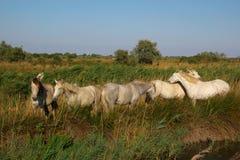 Camargue white horses grazing Stock Image