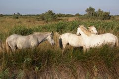 Camargue white horses grazing Stock Photos