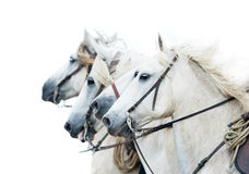 Camargue white horses isolated on white portrait Stock Image