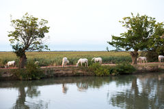 Camargue wild horses grazing by water Royalty Free Stock Images