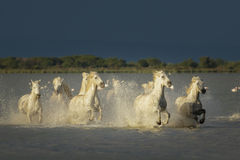 Camargue, wild horses. Wild horses of the Camargue region charging through marsh land
