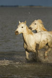 Camargue wild horses Stock Photo