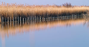 Camargue wild landscape at sundown. Reeds on the lake with reflection at Regional Nature Park of the Camargue at sundown, France Stock Photography