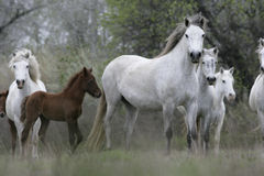 Camargue wit paard royalty-vrije stock foto