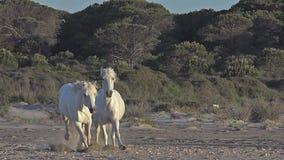 Camarguepaard die op het Strand, Saintes Marie de la Mer in Camargue, in het Zuiden van Frankrijk galopperen, stock footage