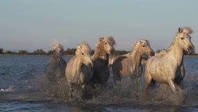 Camarguepaard, Kudde die door Moeras, Saintes Marie de la Mer in Camargue, in het Zuiden van Frankrijk galopperen, stock videobeelden