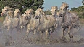 Camarguepaard, Kudde die door Moeras, Saintes Marie de la Mer in Camargue, in het Zuiden van Frankrijk galopperen stock video