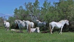 Camarguepaard, Kudde van Wijfjes en Veulennen die, Saintes Marie de la Mer in het Zuiden van Frankrijk slapen, stock video
