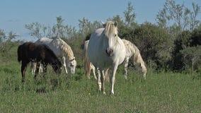 Camarguepaard, Merries en Veulen, Saintes Marie de la Mer in het Zuiden van Frankrijk, stock videobeelden
