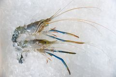 Camarones de los mariscos en camarón crudo gastrónomo del océano fresco de las gambas del fondo del hielo en el cubo de hielo en  imagen de archivo