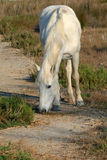 Camarque horse Royalty Free Stock Photography