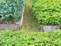 Las camas aumentadas de la verdura plantan el bróculi de las patatas fotos de archivo