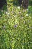 Camas blommar i solljus med att dansa felika ljus Arkivfoton