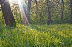 Camas blu fiorisce in un prato con i raggi del sole di luce bianca brillante Fotografie Stock Libere da Diritti