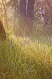 Camas blu fiorisce in un prato della foresta con i raggi luminosi di luce morbida e l'effetto d'annata Immagini Stock Libere da Diritti