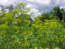 Camas con eneldo floreciente Foto de archivo