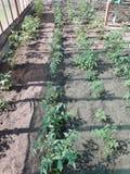 Camas das hortaliças na estufa imagem de stock