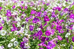 Camas de flor de la petunia de blanco y de púrpura Fotografía de archivo