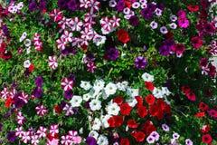 Camas de flor de la primavera con las petunias de las rosas fuertes, del rojo, blancas y púrpuras Fotos de archivo libres de regalías