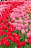 Camas de flor de tulipanes multicolores imagenes de archivo
