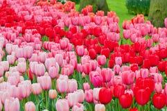 Camas de flor de tulipanes multicolores foto de archivo libre de regalías