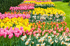 Camas de flor de tulipanes y de narcisos multicolores imagen de archivo