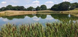 Camas de Reed en el borde de las aguas de una charca foto de archivo libre de regalías