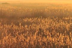 Camas de Reed, en la puesta del sol Foto de archivo libre de regalías